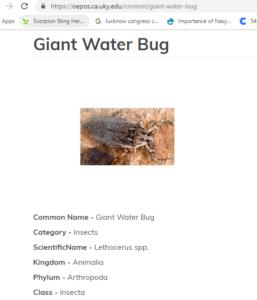 Giant-Water-Bug-Real-Image